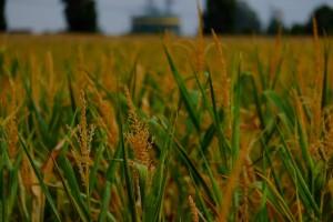 corn-plant-880988_960_720
